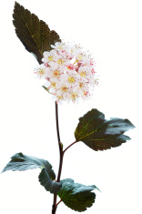 Blooming Ninebark (Physocarpus opulifolius)