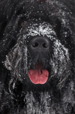 Muzzle large shaggy black terrier