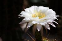 Large Cactus flower (Echinopsis candicans)