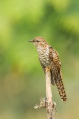Portrait of female Plaintive Cuckoo