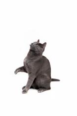 smokey grey kitten