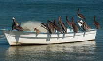 Pelicans on Boat in Sea of Cortez