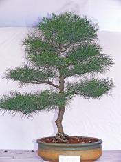 Carolina Sapphire bonsai