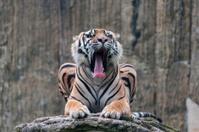 Yawn sumatra tiger
