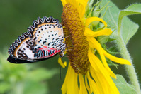 Butterfly on yellow sunflower