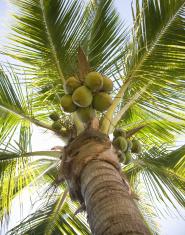 Coconut Palm 2