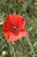 Flanders Poppy (Papaver rhoeas)