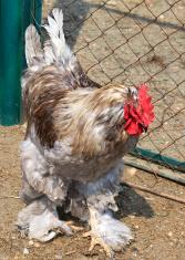 Cochin (chicken)