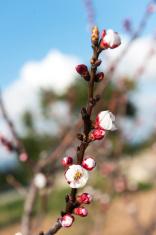 Árbol del albaricoque en flor, Mallorca, Baleares