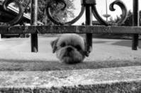 little guarding dog