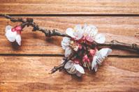 apricot blossom branch close up