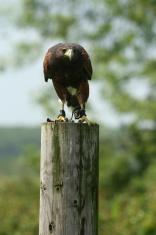Harris Hawk (Parabuteo unicinctus) on a pole