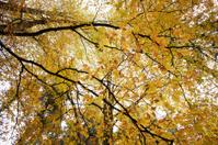 Autumn Tree Canopies