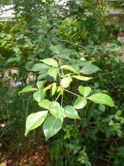 Leaves of Aegle marmelos, Stone apple