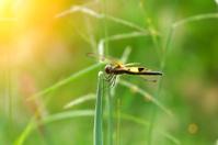 Dragonfly 'Neurothemis tullia male'