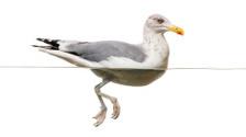 European Herring Gull floating in the water, Larus argentatus