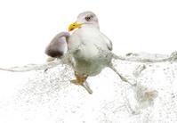 European Herring Gull floating in troubled waters