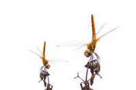 """Dragonfly """"The red purple male libelluid, Trithemis aurora"""" on a"""