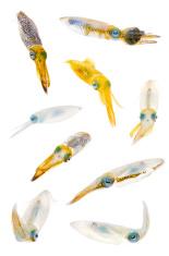 Bigfin Reef Squid-Sepioteuthis lessoniana
