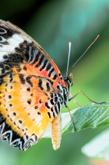 Tropical butterfly (cethosia cyane)