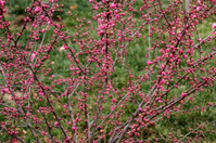 Spring peach flower buds