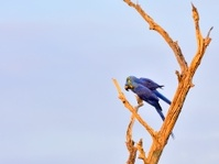 Pantanal Hyacinth Macaw Pair