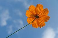 Cosmos orange, Cosmos sulphureus,