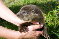 Orphaned otter baby