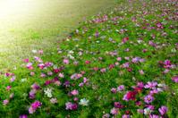 Garden cosmos (Cosmos bipinnatus) flowers