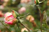 Rosebud, covered with rain drops