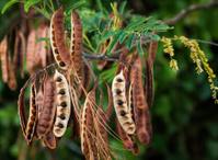 Acacia Koa Seeds