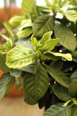 Chinese Herbal Medicine - Gardenia Jasminoides Ellis