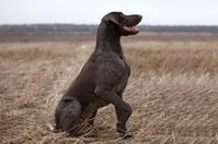 Pointer hunting dog