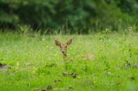 Eld's Deer at Huai Kha Khaeng Wildlife Sanctuary, Thailand