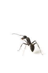 KURO-OARI Ant-Camponotus japonicus