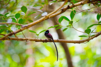 Japanese Paradise Flycatcher-Terpsiphone atrocaudata illex