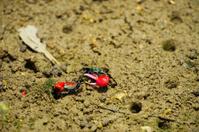 Fiddler crab-Uca chlorophthalma crassipes