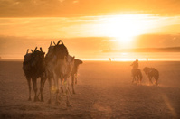 Camel caravan at the beach of Essaouira, Morocco.