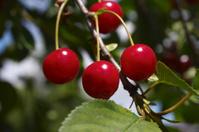 Summer fruit luscious red cherries