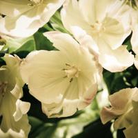 Tulips in Square