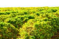 Coffee bean field in Kauai, Hawaii