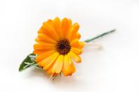 Orange Daisy Flower on white