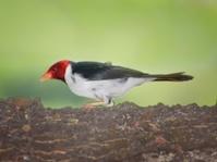 Pantanal Yellow-billed Cardinal