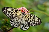 Tree Nymph (Idea Leuconoe) At Aruba Butterfly Farm
