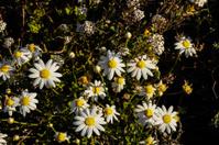 Camomilla Daisy Flowers