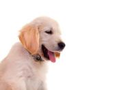Portrait of golden labrador