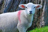 red eared lamb