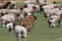 Flock of sheep in spring