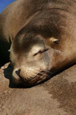 Sea Lion Resting