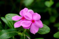Beautiful pink vinca flowers (madagascar periwinkle)